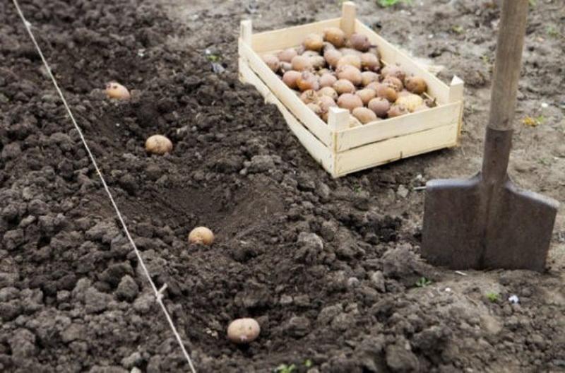 Когда сажать картофель