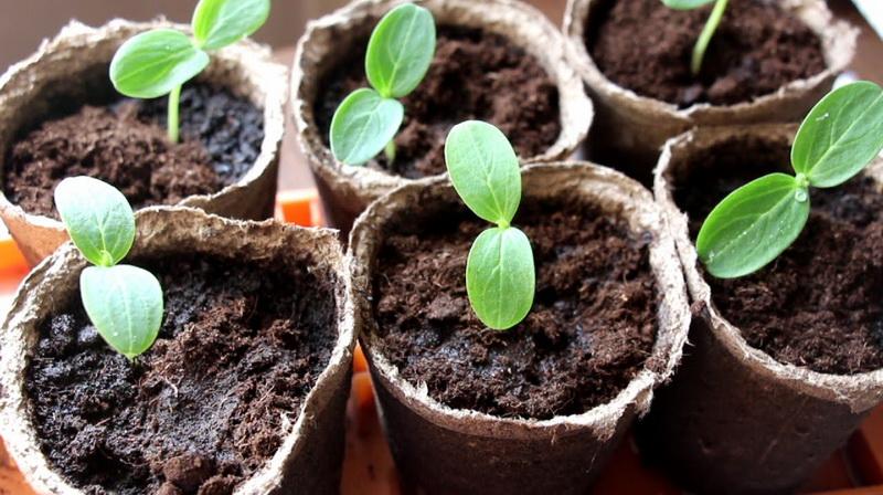 огурцы выращивание рассады