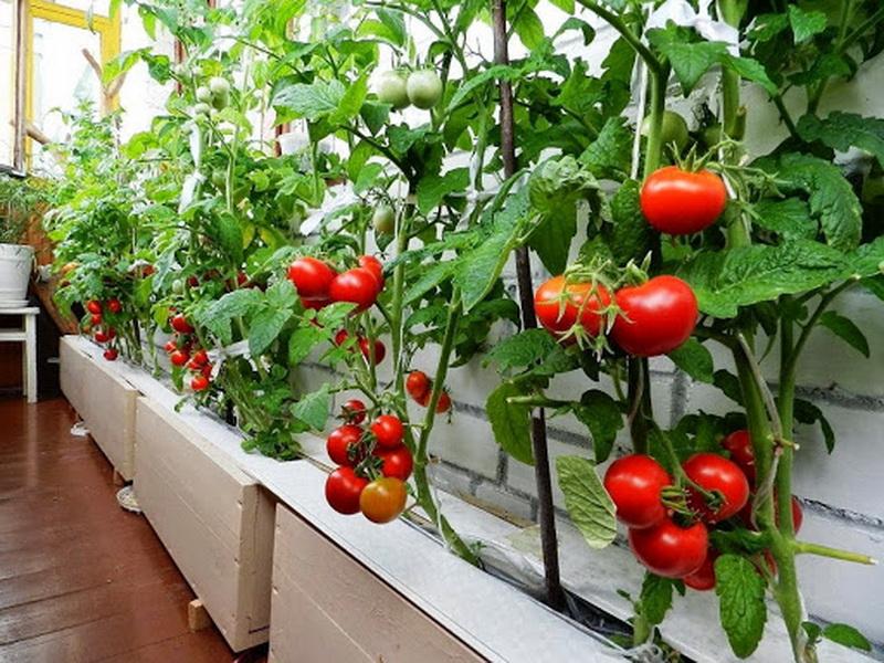помидоры на балконе