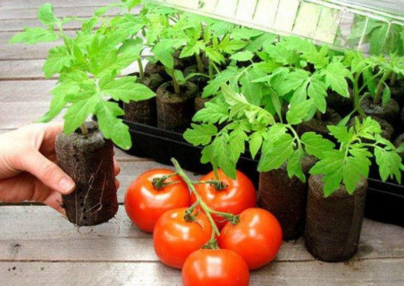 помидоры на рассаду