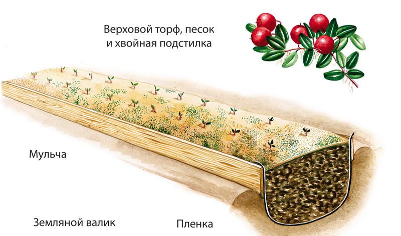 Выращивание клюквы на участке