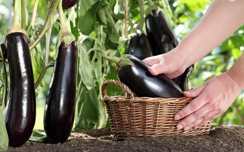 баклажаны сбор урожая