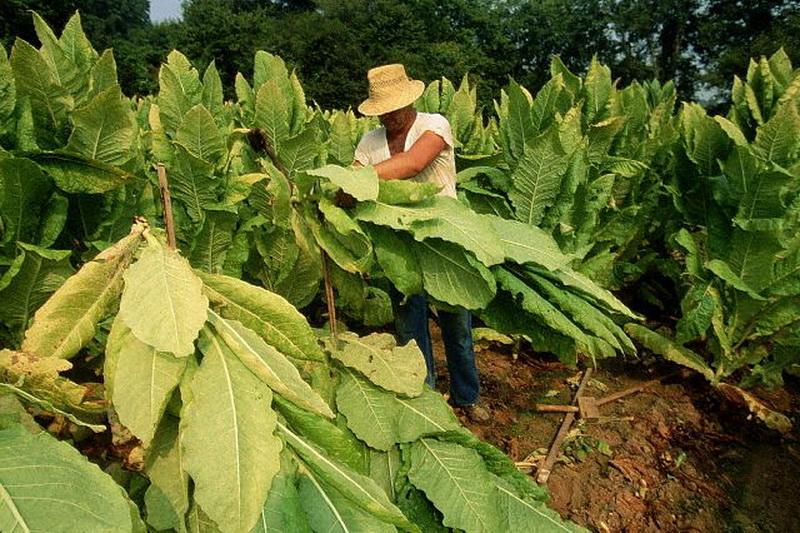 табак сбор урожая