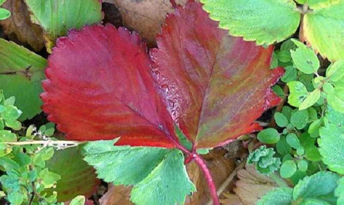 У земляники краснеют листья