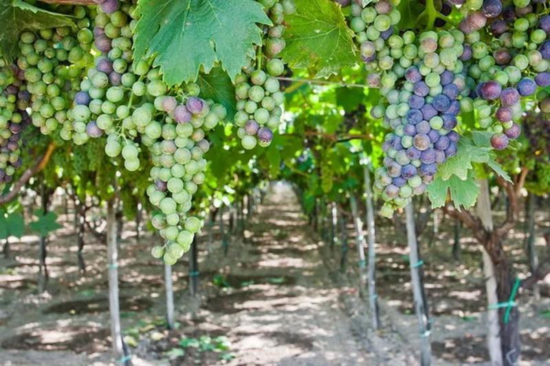 виноград на садовом участке