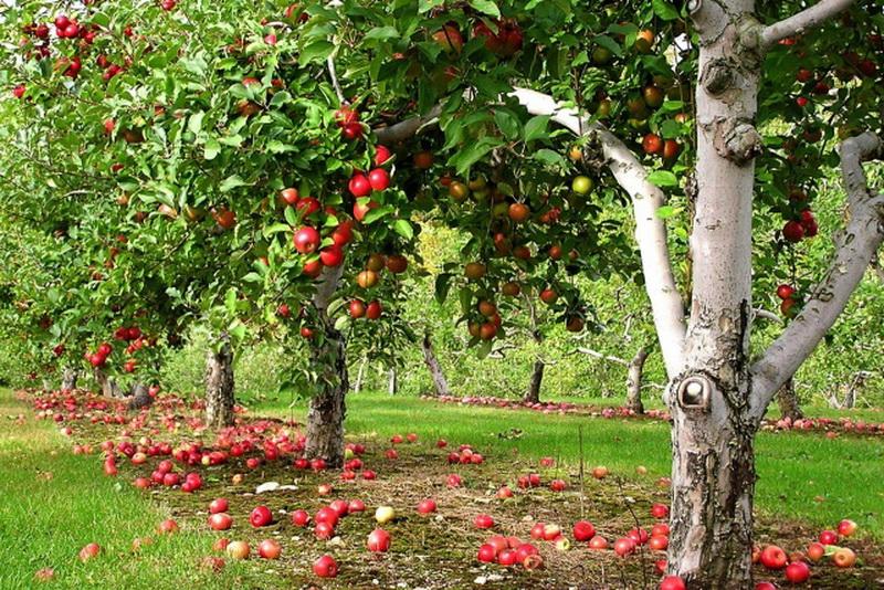 яблоня на приусадебном участке