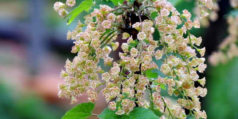 Красная смородина цветет