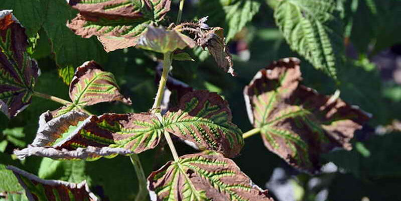 Листья малины чернеют и сохнут