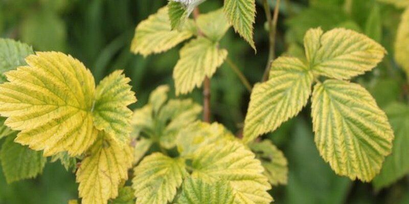 Листья малины приобрели зелено-желтый цвет