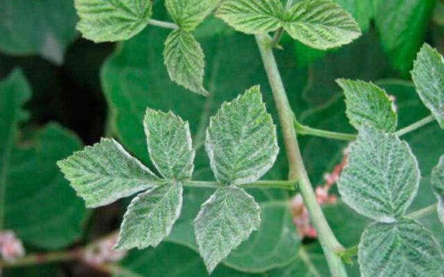 на ягодах и листьях малины появился серый налет