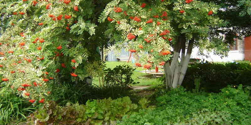 рябина в саду