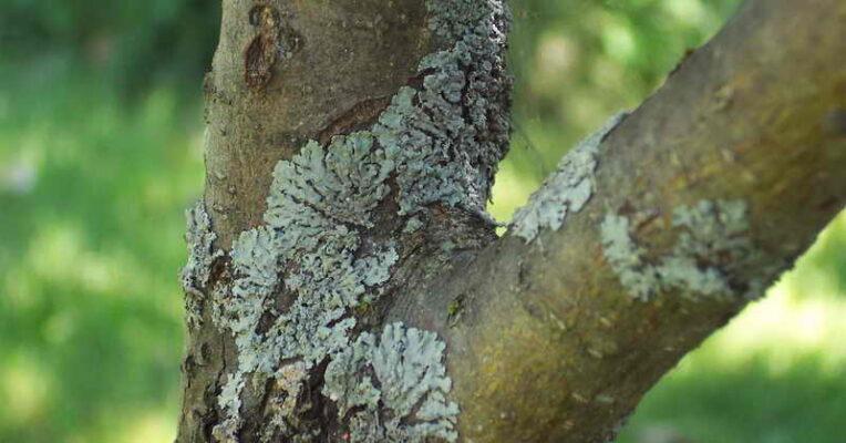 Лишайники на деревьях в саду