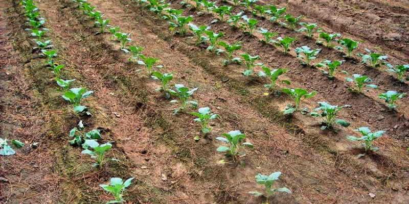 брокколи высадка рассады