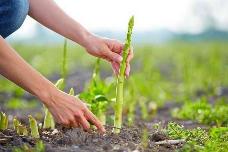 Спаржа сбор урожая