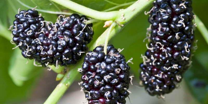 черная шелковица
