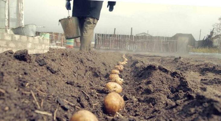 Посадка картофеля под зиму